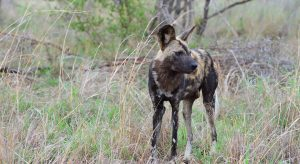 African Wild dog-Kruger-Paolo Giovanni Cortelazzo-1