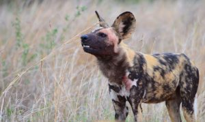 African Wild dog-Kruger-Paolo Giovanni Cortelazzo-2