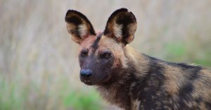 African Wild dog-Kruger-Paolo Giovanni Cortelazzo-3