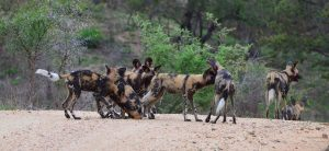 African Wild dog-Kruger-Paolo Giovanni Cortelazzo-4
