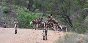 African Wild dog-Kruger-Paolo Giovanni Cortelazzo-5