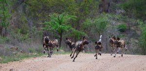 African Wild dog-Kruger-Paolo Giovanni Cortelazzo-6