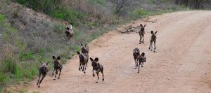 African Wild dog-Kruger-Paolo Giovanni Cortelazzo-7