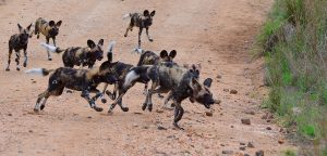 African Wild dog-Kruger-Paolo Giovanni Cortelazzo-8