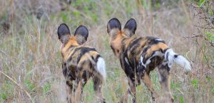 African Wild dog-Kruger-Paolo Giovanni Cortelazzo-9