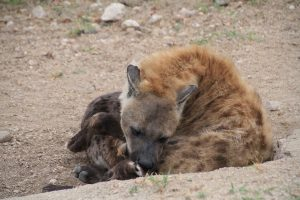 Afsaal hyenas, Kruger National Park by Romi Boom