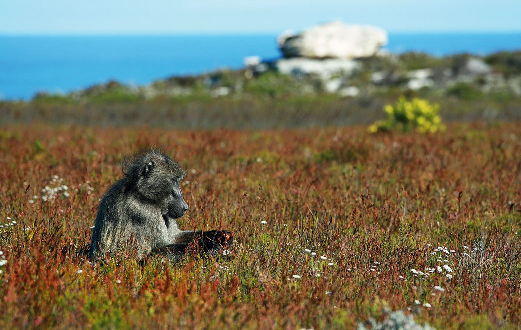 The baboons with a taste for seafood