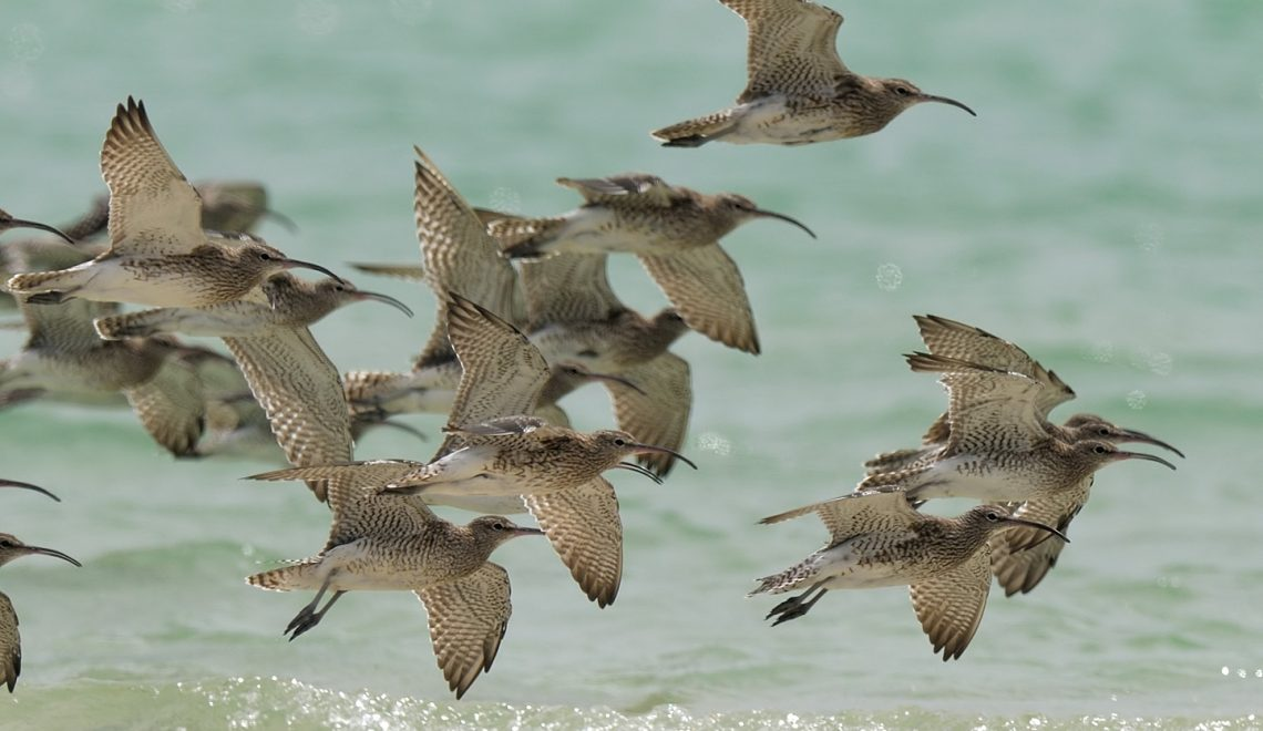 CommonWhimbrels3-WestCoastNP-RomiBoom