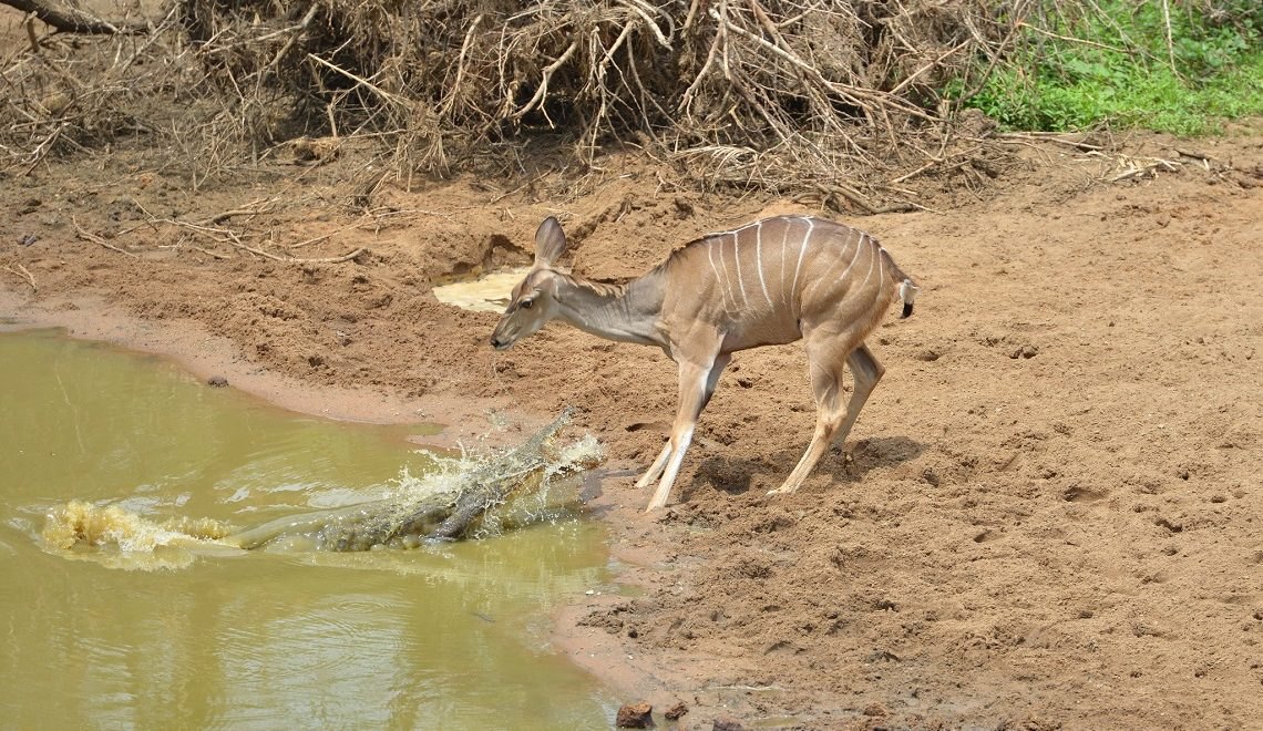 Meet the very, very unlucky crocodile