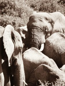 Elephants-Addo-Sally Sivewright