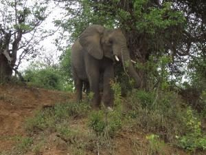 Elephants a natural way to control numbers-ArnoldRas-Apr 2015
