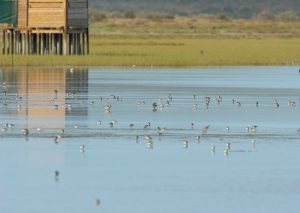 Elizabeth Harding Hide in the background with various waders feeding in the shallow part of the Lagoon.