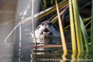 A Cape clawless otter spotted at Goukamma's Groenvlei lake.