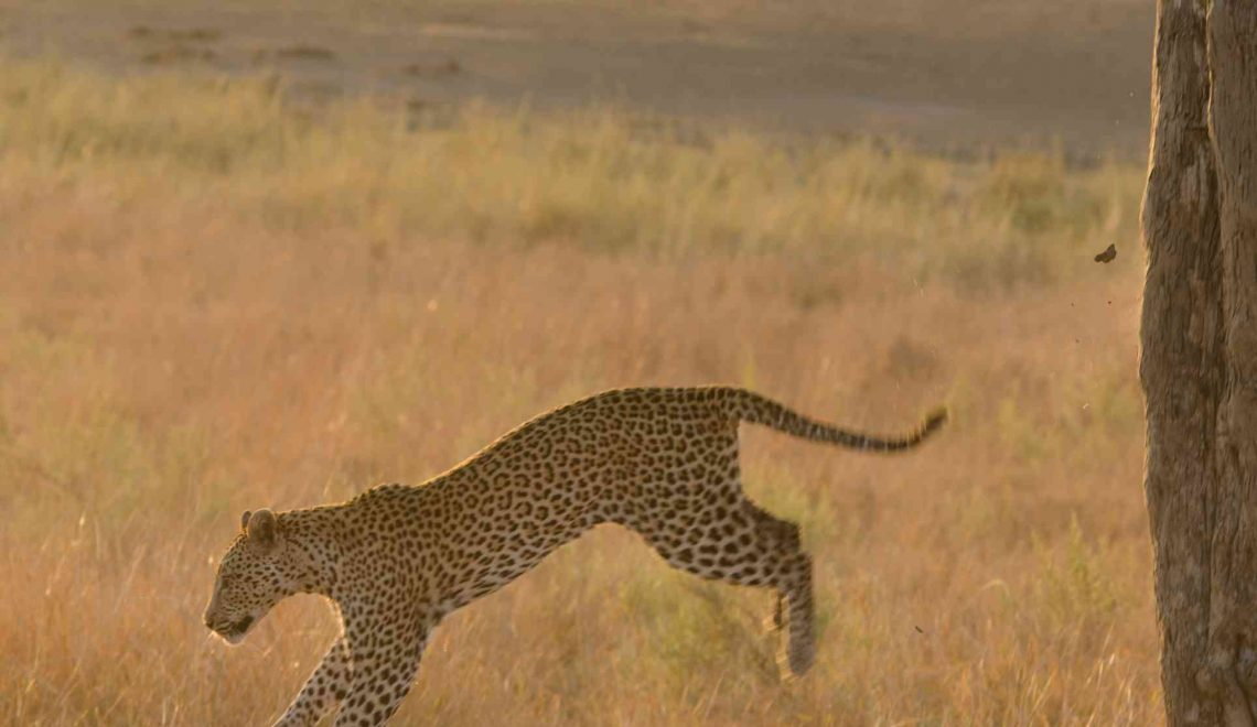 Cheetah chases leopard up a tree