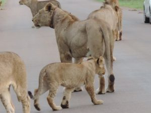 KNPLioness and cub spotted-Stella Stewart-May 2014