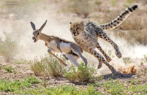 Cheetah hunts a young springbok in the Kgalagadi Transfrontier Park. Picture by Hendri Venter