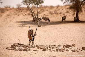 Gemsbok at Craig Lockhart waterhole. Picture by Yovka & Ger Photography
