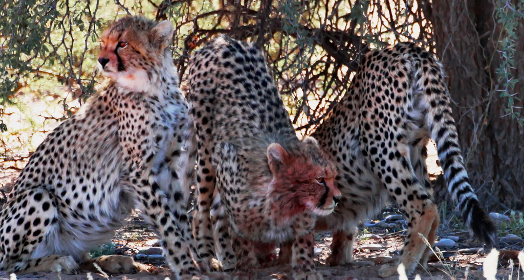 Cheetah youngsters on a hunt