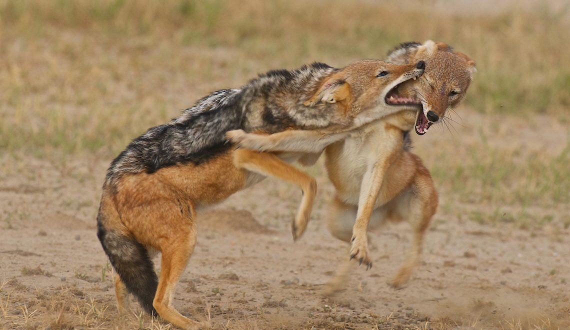 Jackals squabble over carcass