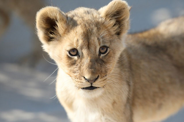Kgalagadi's photogenic lion cubs