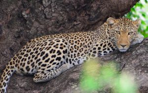 Leopard-Kruger National Park-Paolo Giovanni Cortelazzo-2