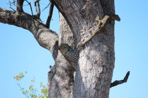 Leopard and rock monitor in tree-Kruger-Mariska Nortje-1