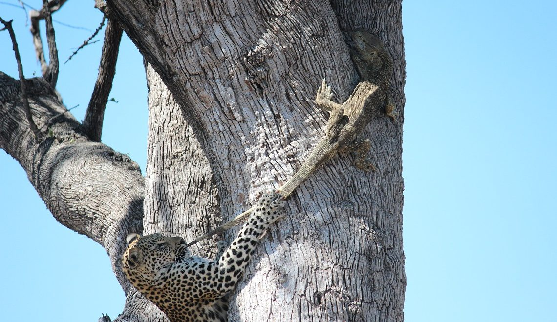 Leopard and monitor sitting in a tree…