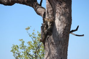 Leopard and rock monitor in tree-Kruger-Mariska Nortje-4