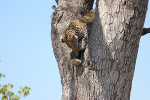 Leopard and rock monitor in tree-Kruger-Mariska Nortje-8