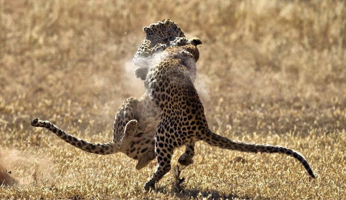 Cat fight: Kgalagadi leopards duke it out
