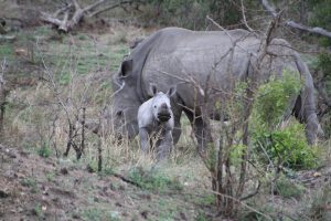 Rhino calf and warthog-Kruger National Park-Romi Boom-Gallery-1