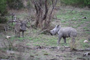Rhino calf and warthog-Kruger National Park-Romi Boom-Gallery-10