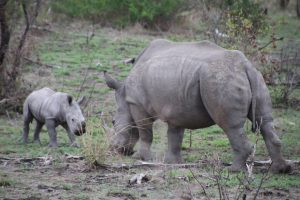 Rhino calf and warthog-Kruger National Park-Romi Boom-Gallery-11