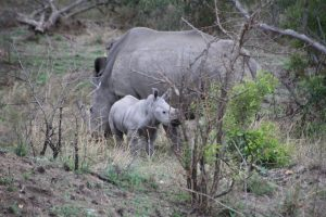 Rhino calf and warthog-Kruger National Park-Romi Boom-Gallery-2