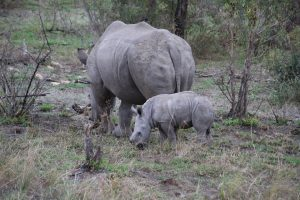 Rhino calf and warthog-Kruger National Park-Romi Boom-Gallery-3