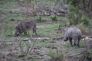 Rhino calf and warthog-Kruger National Park-Romi Boom-Gallery-4