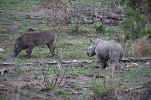 Rhino calf and warthog-Kruger National Park-Romi Boom-Gallery-5