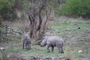 Rhino calf and warthog-Kruger National Park-Romi Boom-Gallery-6