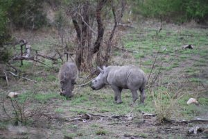 Rhino calf and warthog-Kruger National Park-Romi Boom-Gallery-7