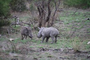Rhino calf and warthog-Kruger National Park-Romi Boom-Gallery-8