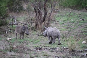 Rhino calf and warthog-Kruger National Park-Romi Boom-Gallery-9