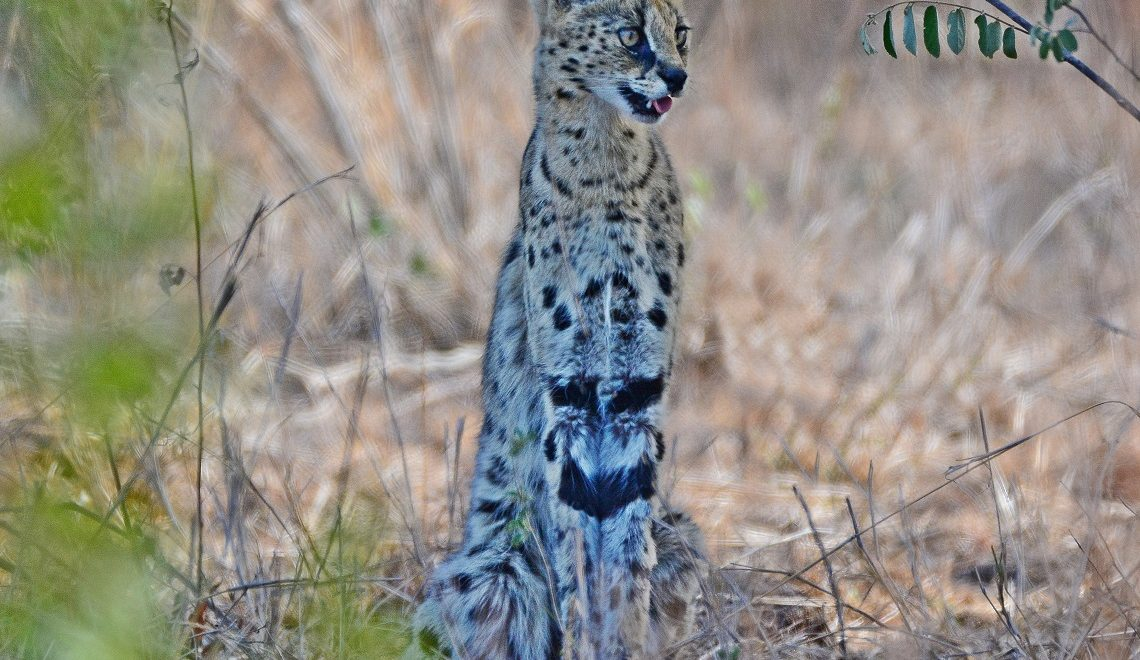 The elusive serval and the Krugerholic