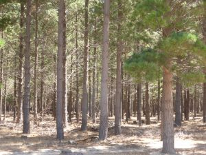 Tokai Forest has been known for its pine plantations, but this precious landscape is slowly but surely changing for the better. Pictures by Arnold Ras