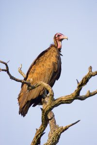 Vulture marking and tagging-Hooded Vulture-Andre Botha