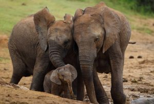 Wild mothers and young-Addo-Elephant-Mohammed Jinnah