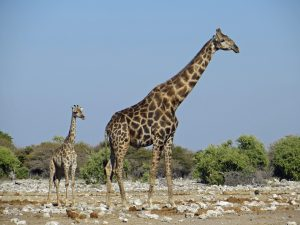 Wild mothers and young-giraffe-Etosha-Ron Swilling