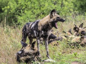 2 KNPWild Dogs-KenSaunders-May2013