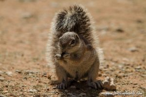4 KgalagadiGroundsquirrels-Tracking the Wild-Nov2015
