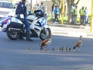 5 CT traffic cops and Egyptian geese-Oct2013