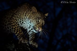 Leopard Photography-As Night Falls-WimVorster